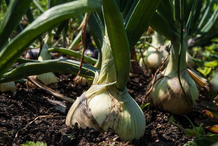 Podľa toho, čo hovoria skúsení farmári, tak počet listov, ktoré cibuľa vyprodukuje ešte predtým, ako sa začnú dni krátiť, určujú veľkosť cibule. Preto nezabudnite, že čím skôr cibuľu zasadíte, tým väčšia vám vyrastie.