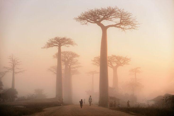 アフリカのマダガスカル。この道はバオバブ街道とも呼ばれていて、観光客に人気のスポットだ。