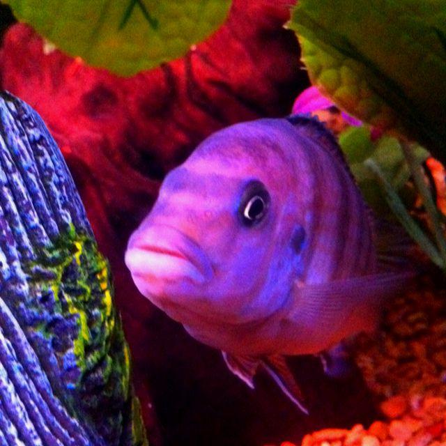 George, my African cichlid.