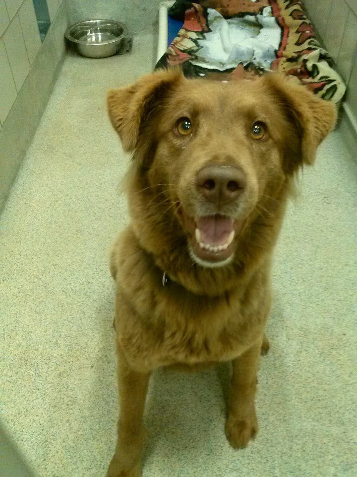 ID#A119732  I am described as a female, chocolate Labrador Retriever mix. Shelter staff thinks I am about 2 years and 1 month old old. I have been at the shelter since 01/30/2014 . My review/available date is 02/05/2014. Pls contact the shelter for more info on me. Prairie Paws Adoption Center: 2222 W. Warrior Trail, Grand Prairie, TX 75052.972-237-8575, email prairiepawsanimalinfo@gptx.org  Facebook: www.facebook.com/partnersofprairiepaws