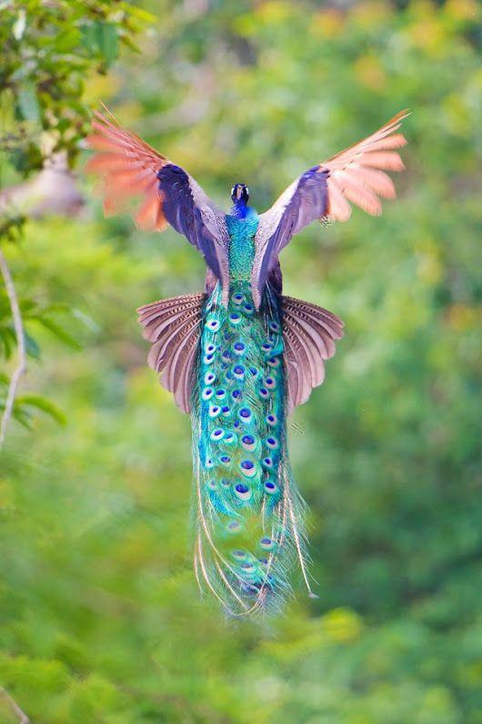 Pied peacock in flight.   Encantadoras imágenes de pavos reales en pleno vuelo - GatoPanda