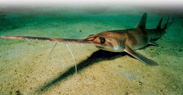 Tiburón sierra de Bahamas (Pristiophorus schroederi)