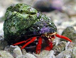 Red Scarlet Reef Hermit Crab