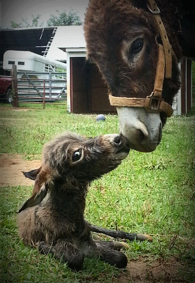 Newborn donkey with leelee its mom.