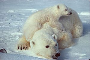 "From ""Green Bean Kindergarten"" - - Lesson ideas and videos for polar bears."