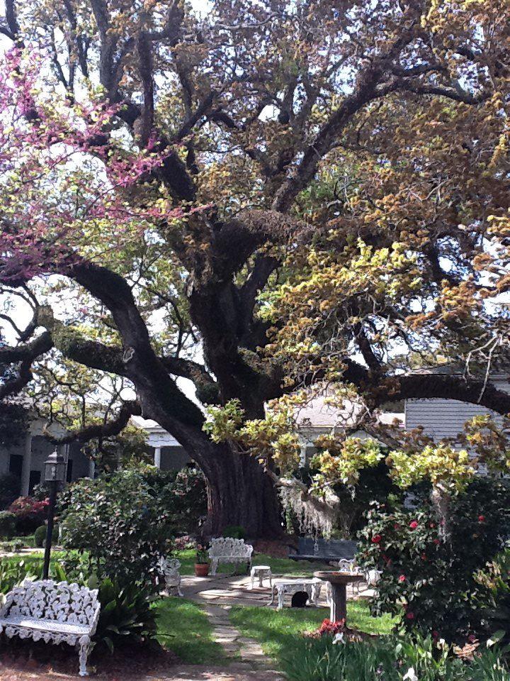 400 year old oak tree in Natchez Mississippi.