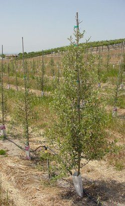 Growing Olives