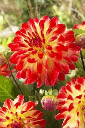 Image of Dahlia Sight of Summer