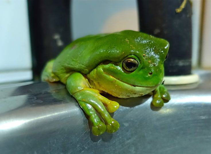 Tree Frog, Litchfield National PaRK.