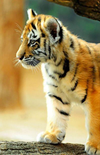 ~~Baby Tiger Cub | Milwaukee County Zoo~~