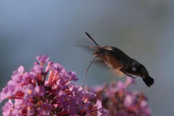 Taubenschwanzchen Tierwelt Coswig Mit Bildern Schmetterling Taubenschwanzchen Tiere
