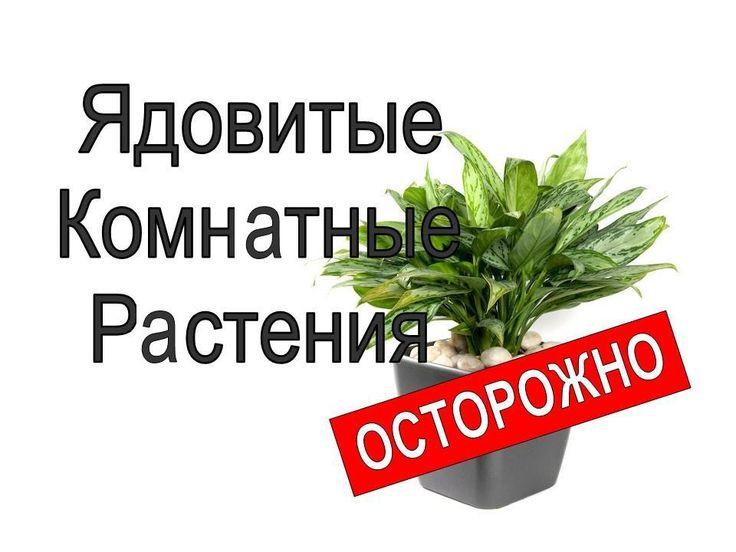Ядовитые комнатные растения опасные для здоровья#Ядовитые_комнотные_ростения, #акалифа, #адениум, #агератум, #долгоцветка, #аглаонема, #алламанда, #алоказия, #антуриум_шерцера, #аспарагус, #аукуба, #гибрид. #бегония, #броваллия, #брунфельсия, #самшит, #перец_стручковый, #карисса, #кассия, #катарантус, #цеструм, #кливия, #кодиеум, #безвременник_осенний, #ландыш, #ракитник, #диффенбахия, #молочай, #гемантус, #гелиотроп, #хойя, #ирис, #ятрофа, #лантана, #лилия, #монстера, #нарцисс, #олеандр…