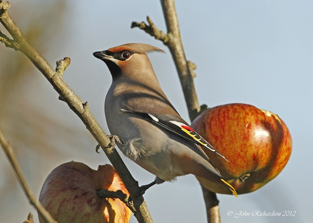 Old Man of Minsmere aka John Richardson: Yet more Waxwing's today
