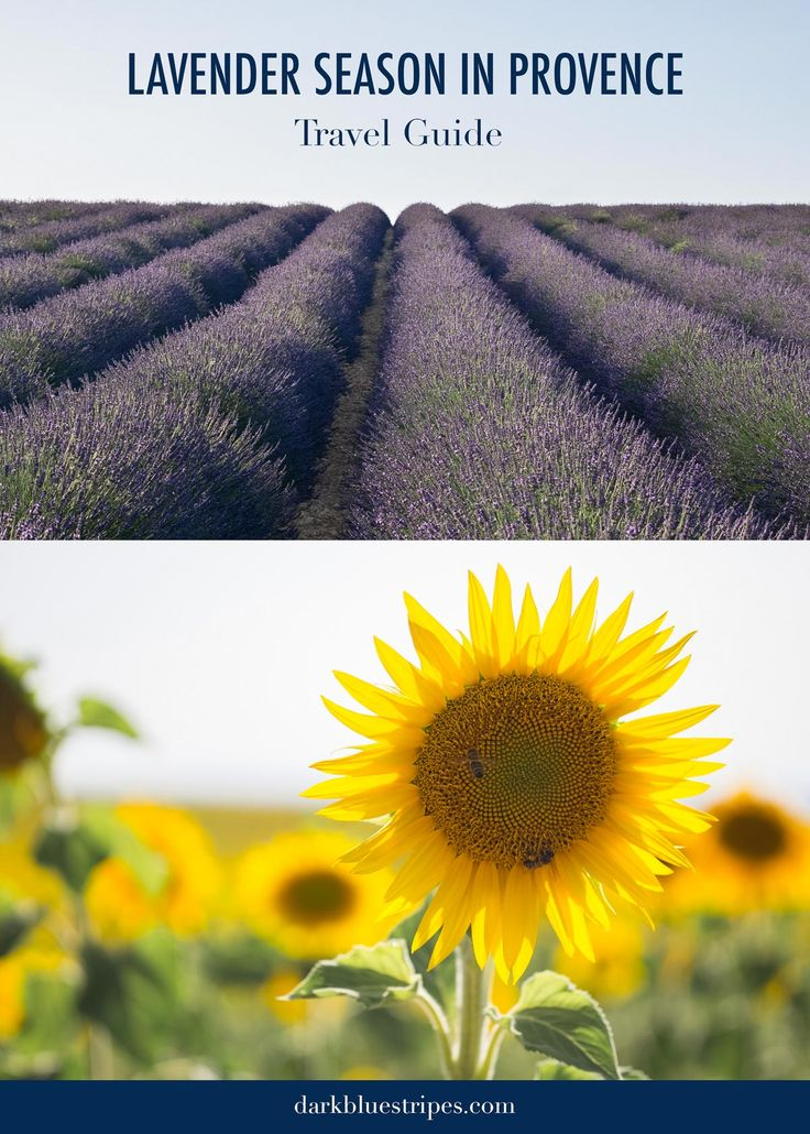 Looking for lavender fields in Provence?! Click through to discover the best places to experience the lavender and sunflower fields of Provence, France. | Lavender season in Provence | Provence Travel Guide