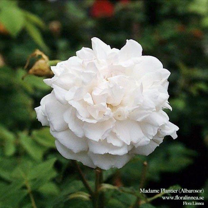 Madame Plantier - Flora Linnea