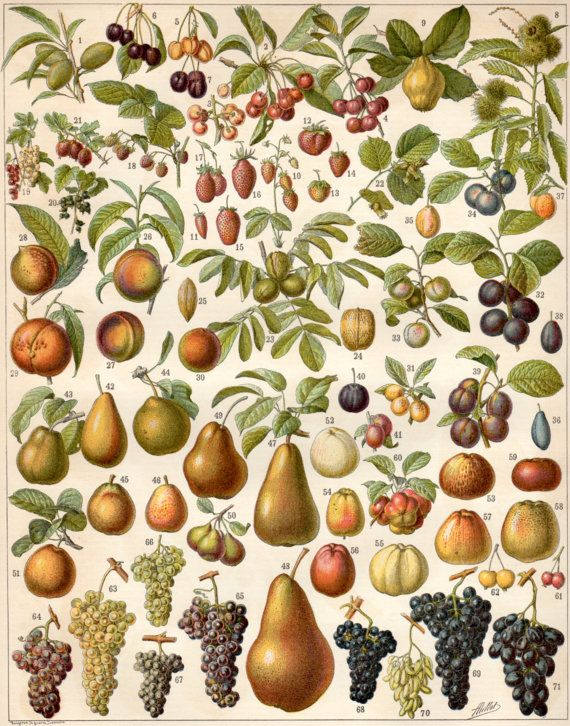 Antique lithograph published by Larousse in France in 1897, beautifully detailed, depicting 71 examples of FRUITS.  Condition: Very good; Text