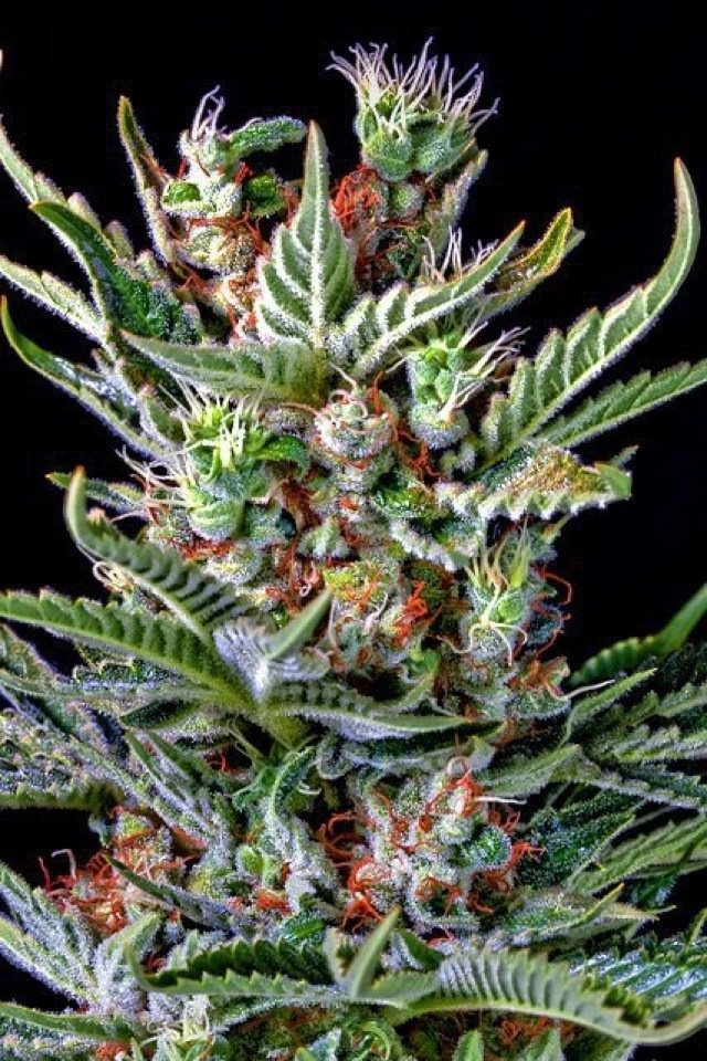 Cannabis: one of the most valuable treasures of this Earth...