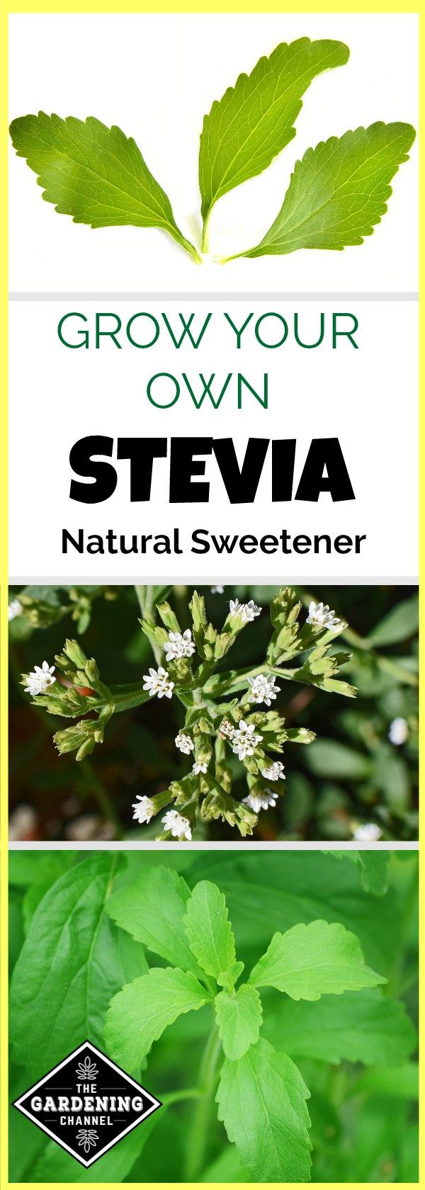 Learn how to grow your own stevia in the garden. Don't miss these gardening tips on planting and using stevia as a natural sweetener.