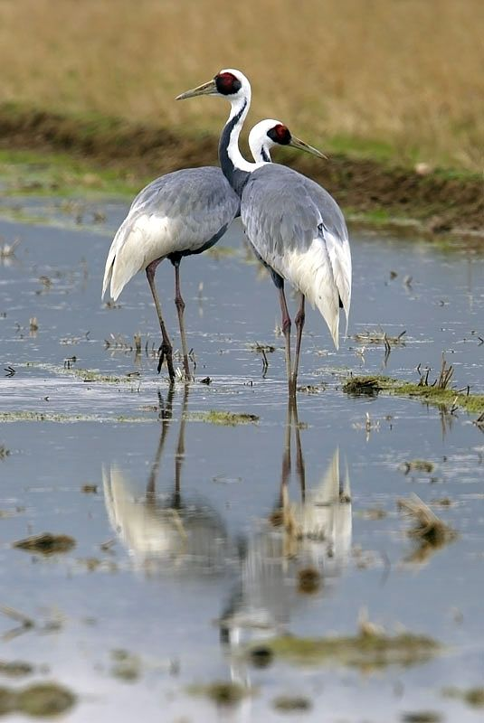 White Naped Cranes Is A Large Bird 44 49 In Long Somewhere Around