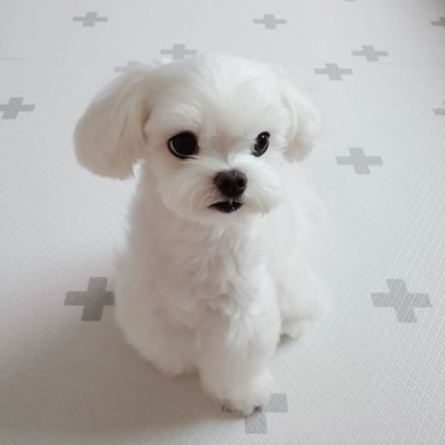 - - Follow @maltese.dog.love for more via @kevin.mom Love to tag? Please do! - #maltese #malteseofinstagram #maltesers #malteseofficial #maltese101 #malteselovers #maltesepuppy #maltesedog #maltesemix #maltesenation #maltesegram #malteseworld #malteseoftheday #malteseworld_feature #malteseterrier #maltesedogs #malteselife #malteseofig #malteses #maltesesofinstagram #maltesecross #malteseshitzu #malteseclub #maltese_thecute #maltesestagram #maltese_feature #malteseislands #maltese_101 #malt