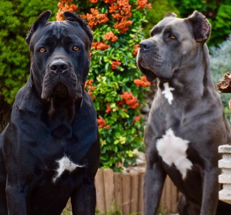 28 Likes, 0 Comments - 🇭🇺🐾 Cane Corso Tamàs Antal ...