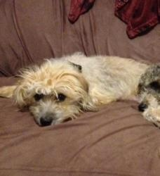 Emee is an adoptable Maltese Dog in Lawrenceville, GA.: Maltese Dogs, Adoption Maltese, Malt Dogs