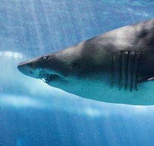 Песчаные акулы любят общаться