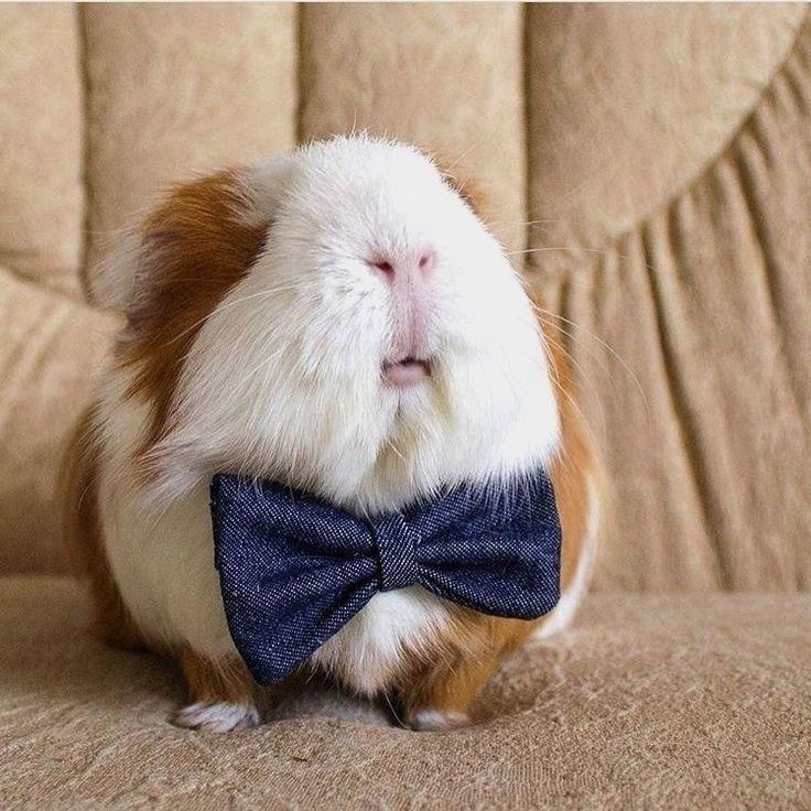 воссоздания большей самые прикольные морские свинки фото квартир ярославский