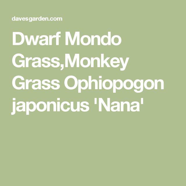 Dwarf Mondo Grass,Monkey Grass  Ophiopogon japonicus 'Nana'