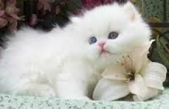 Risultati immagini per gatto persiano bianco occhi verdi