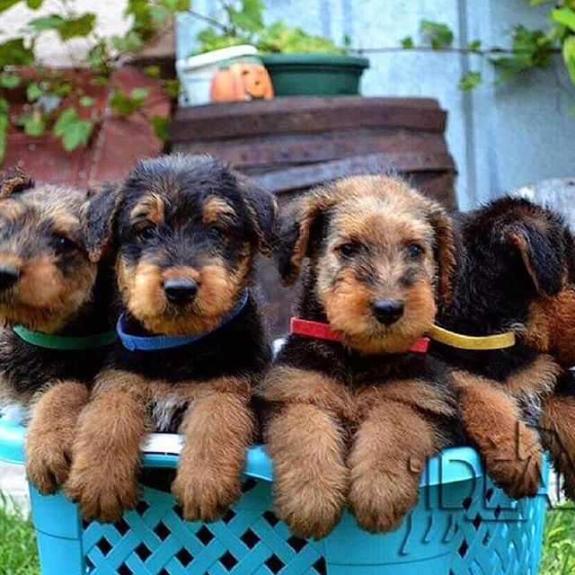 14 Things Airedale Terriers Love Doing | PetPress