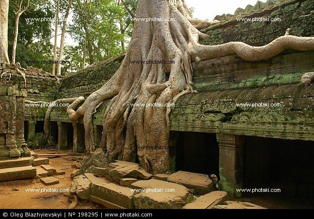 Tree on old Cambodian temple