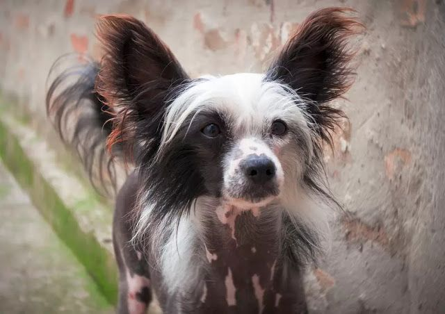 10 Best Small Dog Breeds That Don T Shed Dog Breeds That Dont Shed
