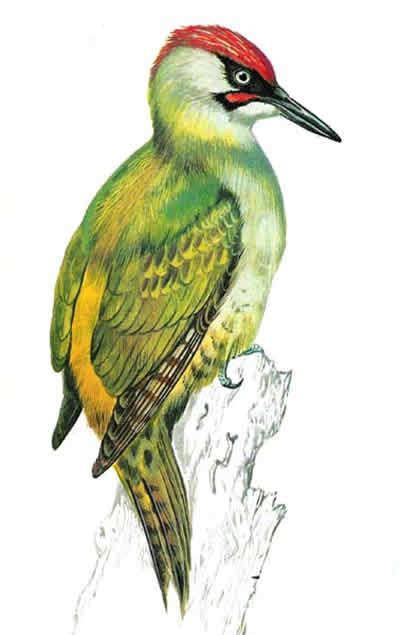 Learn about Green Woodpecker identification, habitats and food.