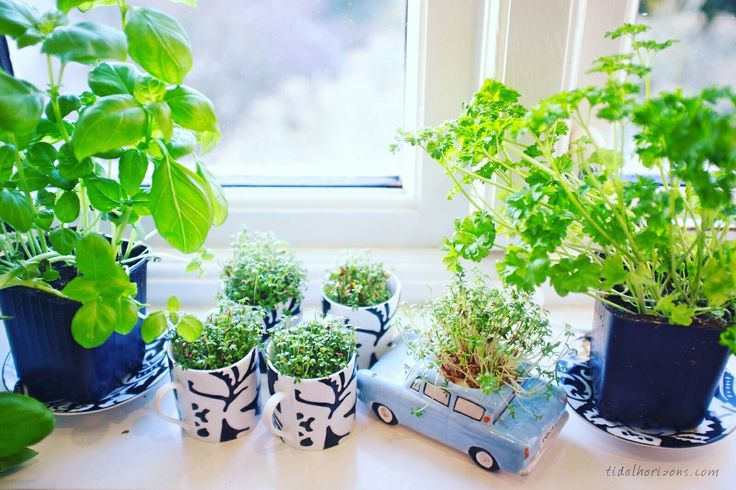 Herbs and cress growing on the windowsill in my designer Elspeth Gibson china.