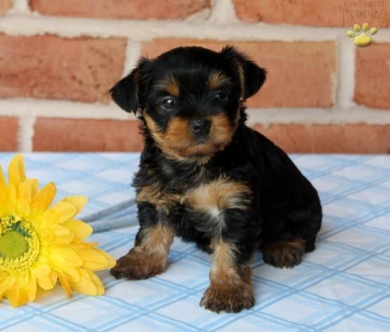 Wilma Yorkshire Terrier Puppy For Sale In Manheim Pa