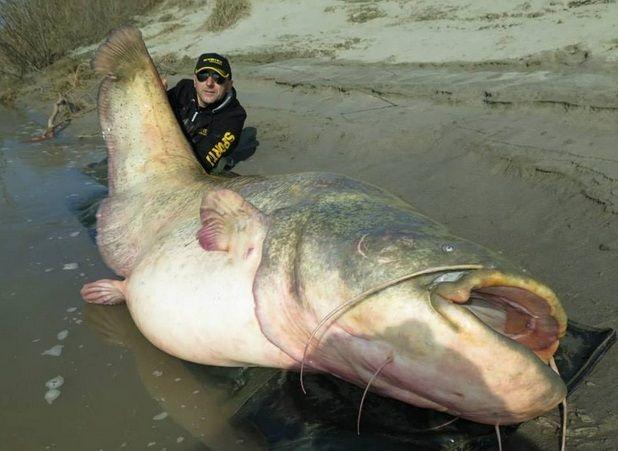 pesce più grande del mondo mai pescato pesce siluro nel po'- Cerca con Google