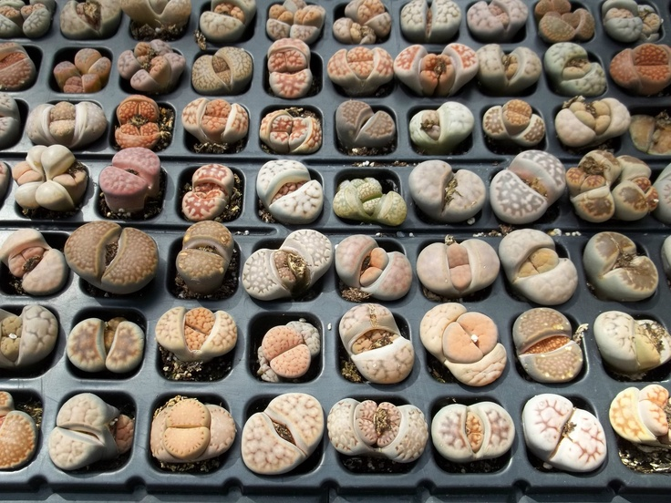 Living Stones Lithops Variety Mix Succulent Mesembs Stone Cactus Seed 100 Seeds   eBay