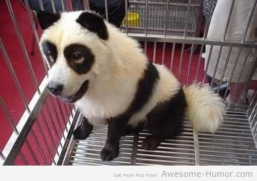 The Panda Dog, oh my gosh, oh my gosh, oh my gosh, oh my gosh!!!!!! i could own this dog, my life would be complete!