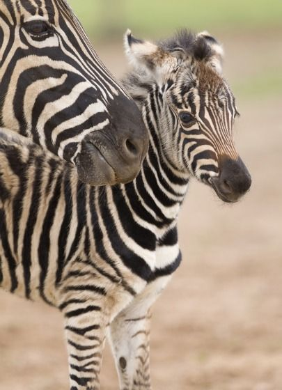 Baby Zebra with mom