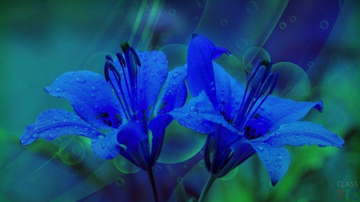 Синие лилии