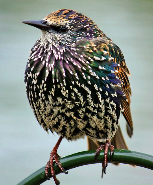 One of our struggling species... you may see lots of starlings in your garden but they are actually in decline. Are you still lucky enough to have them visit your garden? Big Garden #Birdwatch.