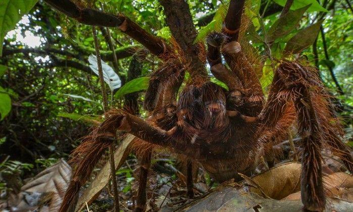 Maior aranha do mundo mede 30 centímetros e pode ter o peso de um filhote de cão - Jornal O Globo