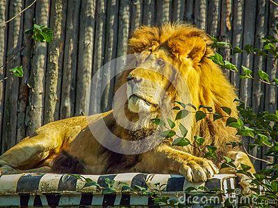 Beautiful african king lion