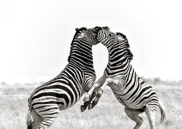 Dancing Zebras, Etosha, Namibia  Check out Peter Delaney's photographs from The Intrepid Explorer's Life through the Lens - www.intrepidexplorer.co.za