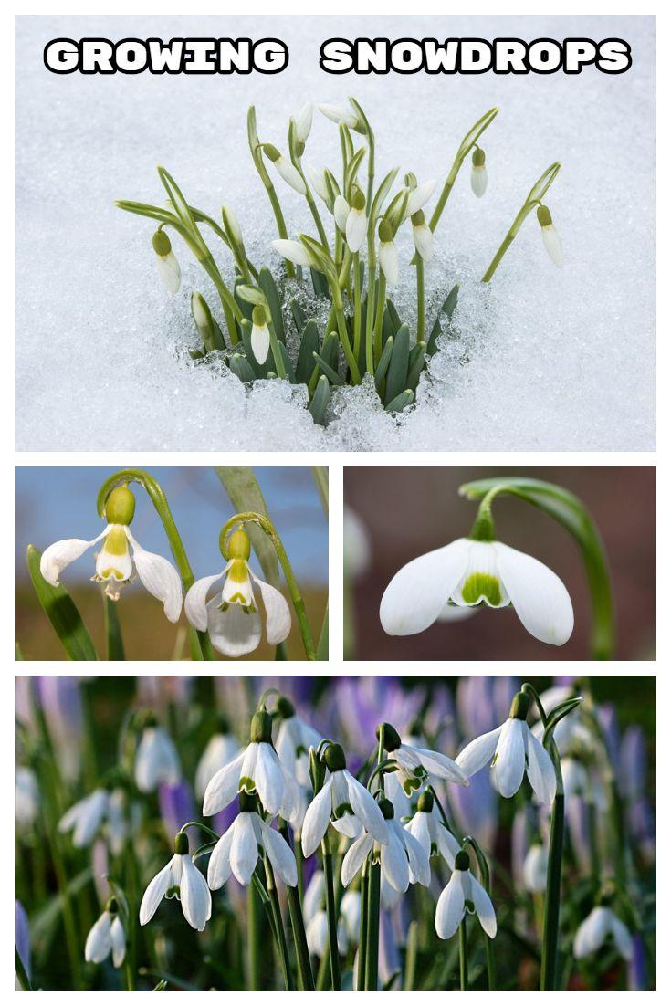 Growing Snowdrops Flower Garden Design Plants Planting Bulbs