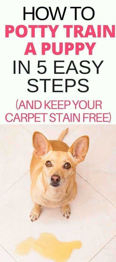 Potty training a puppy? Dog potty training doesn't have to be difficult if you have the right knowledge. Find the best puppy potty training tips and schedule in this guide on How To Potty Train A Puppy in 5 Easy Steps (And Keep Your Carpet Stain Free). #puppypottytraining #puppypottytrainingschedule #puppytrainingpotty