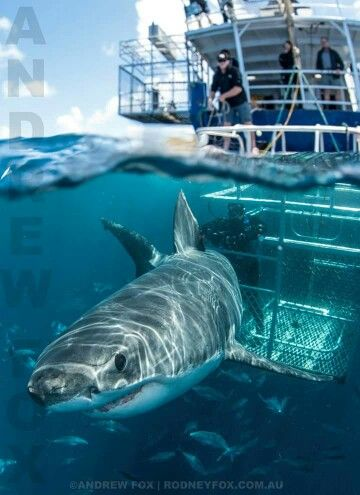 """Pinner said, """"I'd prob faint if I was in this boat...super scary!!"""" Perhaps she didn't see the guy PETTING the shark from that flimsy cage?"""