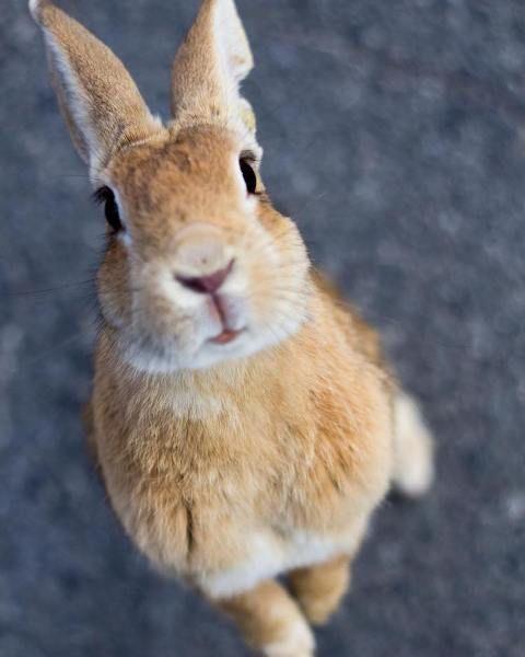 WinNetNews.com - Siapa sih yang gak suka kelinci? Hewan berbulu tebal dan bertelinga panjang ini memiliki penggemar yang sangat banyak di seluruh dunia. Saat yang menggemaskan ketika mereka berdiri untuk meminta makanan dengan gerakan hidungnya yang khas.Tapi kalau kamu main ke Jepang, kamu akan dikelilingi