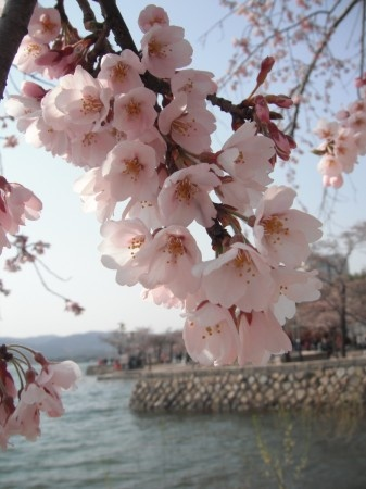 Cherry Blossoms in Gyeongju, South Korea